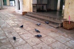 Morning Pigeons